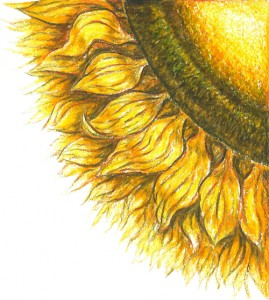 sunflower-cropped